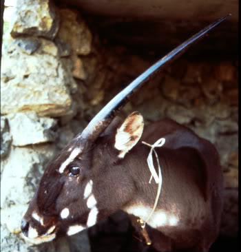 This female saola named 'Martha' was captured in 1996 in Laos by local villagers, and transferred to a nearby menagerie, but survived only a few weeks.  Copyright 1996 by William Robichaud/WCS