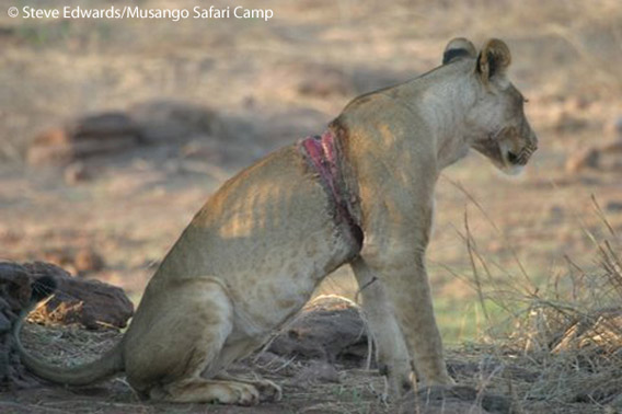 After a snared lioness was spotted on Musango Island in Lake Kariba, Zimbabwe, the team from Wild Horizons Wildlife Trust were called in to remove the snare. The lioness was saved. Photo by: Steve Edwards/Musango Safari Camp.