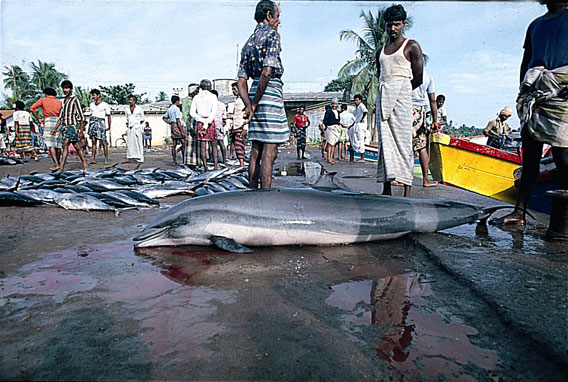 Obscure species such as Fraser's dolphin (seen here in a fishing market in Sri Lanka) are being increasingly utilized as food in areas impacted by food insecurity and/or poverty. Photo by: Anouk Ilangakoon.
