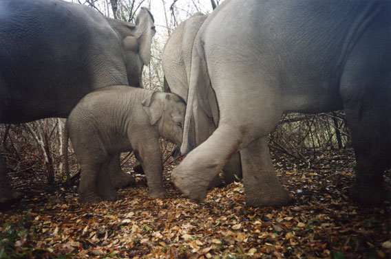 A herd of Asian elephants caught on camera trap. Photo by: DNP-Government of Thailand/WCS Thailand Program.