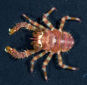 the coral reef crustacean, Sadayoshia edwardsii