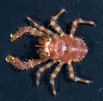 the coral reef crustacean, Sadayoshia edwardsii