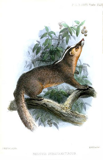 Illustration of the Chinese ferret-badger from 1862. Illustration by: Joseph Wolf.