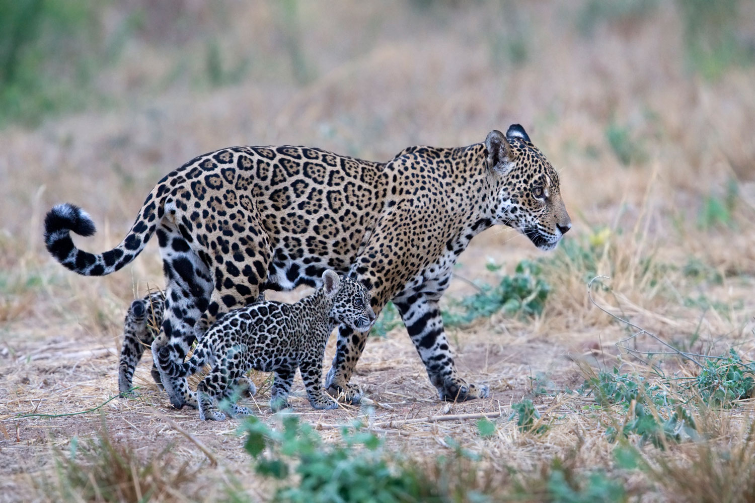 animal picture of the day rare photo of mother jaguar and
