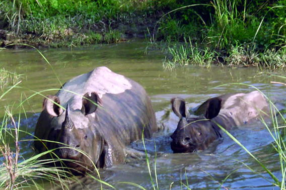 The Indian rhinoceros, otherwise known as the greater-one horned rhino, survives in India and Nepal.  This photo is from Chitwan National Park, Nepal. Listed as Vulnerable, the Indian rhinoceros (Rhinoceros unicornis) has a population around 2,500. Photo courtesy of Rhishja Larson.