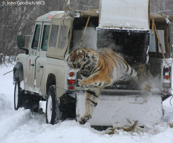 An incredible photo of a Siberian tiger leaping from a truck after being treated for a snare wound and released by Wildlife Conservation Society's (WCS) scientists. Photo by: John Goodrich/WCS.