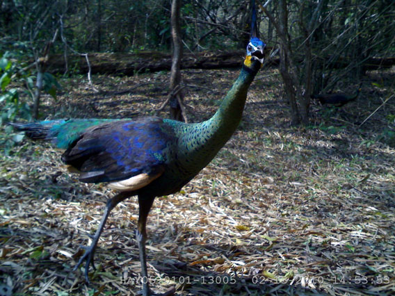 The Endangered peafowl on camera trap. Photo by: DNP-Government of Thailand/WCS Thailand Program.