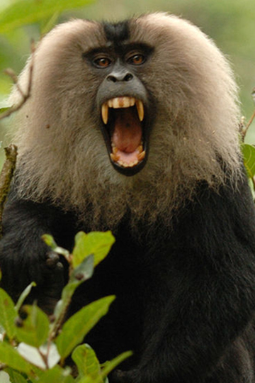 Lion-tailed macaques (Macaca silenus) are only found in the Western Ghats and are listed as Endangered by the IUCN Red List. Photo by: Kaylan Varma.