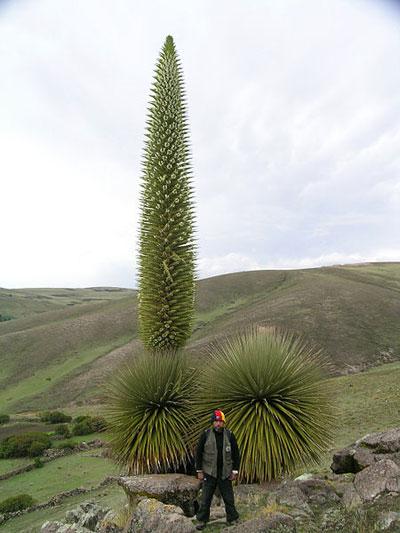 Puya raimondii en Perú. Foto por: Pepe Roque.