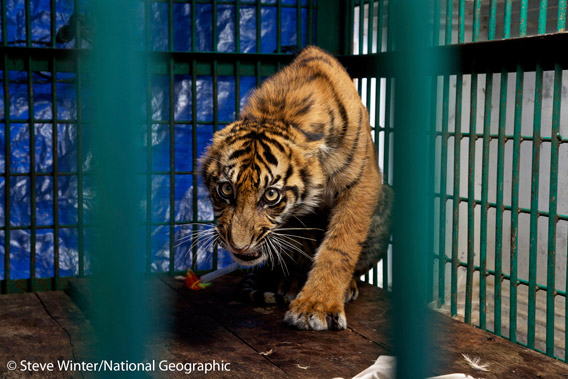 This six-month old Sumatran tiger cub was strung up in a snare for three days before it was rescued. However, it's paw had to be amputated. While the cub survived, its freedom has been lost. Unable to hunt and fend for itself, the cub now lives in captivity on the Indonesian island of Java. Photo by: Steve Winter/National Geographic.