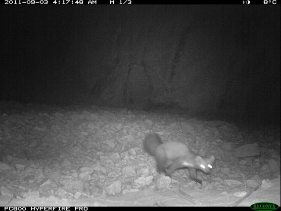 A stone marten—a member of the weasel family—inquisitively approaches the camera trap. Photo by: WCS Afghanistan Program.