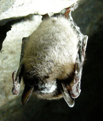 Little brown bat with white-nose syndrome in Greeley Mine, Vermont, March 26, 2009. Photo by: Marvin Moriarty/USFWS.