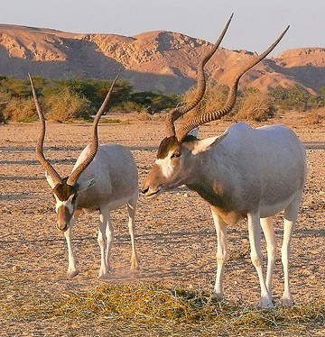 Captive addax in Israel. This antelope is Critically Endangered. Photo by: Math Knight.
