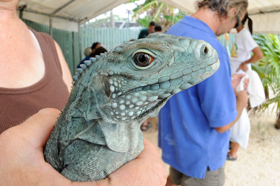 A young blue iguana awaiting a health assessment. Photo credit: Julie Larsen Maher/Wildlife Conservation Society.