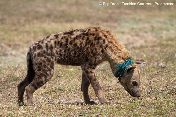 A photo of a hyena after a snare was removed from its neck and its wounds treated by staff from the South Luangwa Conservation Society. Zambia, July 2010. Photo by: Egil Droge/Zambian Carnivore Program.