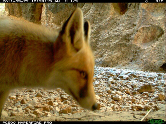 A red fox inspects the camera trap. Photo by: WCS Afghanistan Program.