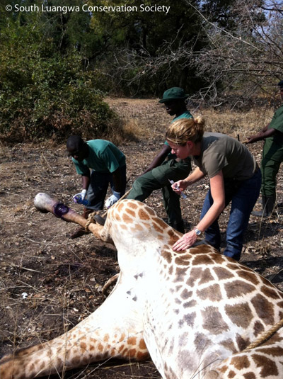Snares kill and injure a vast multitude of species: here, a snared giraffe is treated by South Luangwa Conservation Society, Zambia, 2011.. Photo by: South Luangwa Conservation Society.