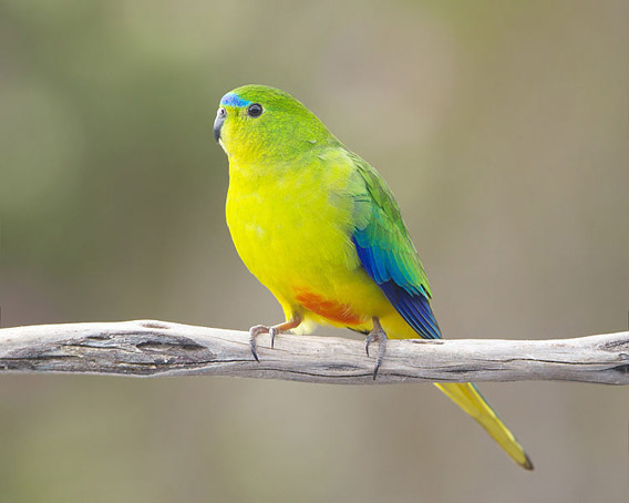 An orange-bellied parrot (Neophema chrysogaster) male, Melaleuca, Southwest Conservation Area, Tasmania, Australia. Photo by: J.J. Harrison.