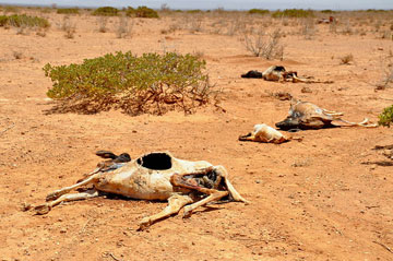 Carcasses of cattle and goats, killed by the drought in East Africa. Photo by: Oxfam East Africa.
