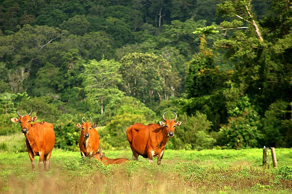 Female banteng in Alas Purwo National Park, Java, Indonesia. Photo by: Rochmad Setyadi.