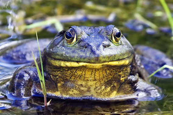 Invasive American bullfrog in British Colombia. Photo by: Alan D. Wils.