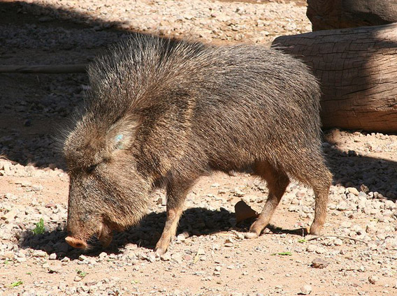 Chacoan peccary at the Phoenix Zoo. Photo by: Dave Pape.