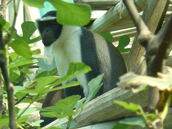 One of the world's top 25 most endangered primates: the roloway monkey (Cercopithecus diana roloway) photographed in the Munich Zoo.