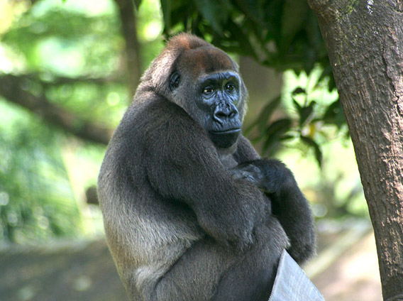Captive Cross River gorilla at Limbe Wildlife Centre, Limbe, Cameroon. Photo by: Julie Langford.