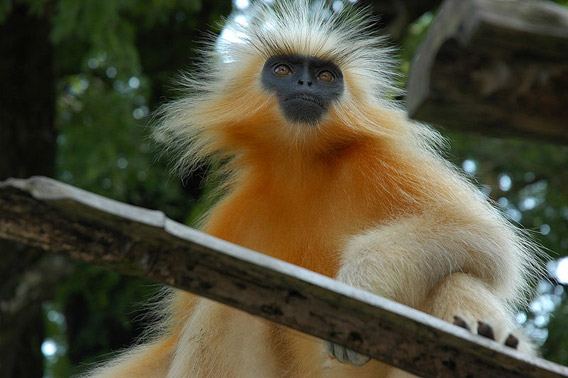 Endemic to India, the golden langur is considered Endangered. Photo by: Mousse.