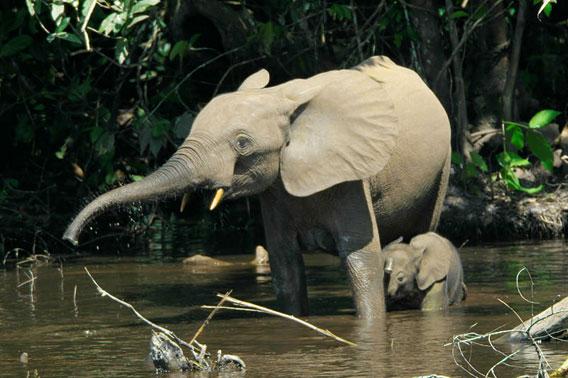 Eléphants de forêt dans le fleuve Mbeli dans le Parc national de Nouabalé-Ndoki. Photo de Thomas Breuer.