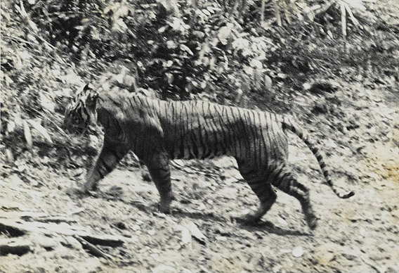 A Javan tiger in 1938 at Ujung Kulon. Photo by: Andries Hoogerwerf.