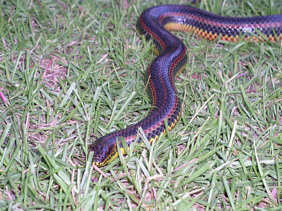 Rainbow snake, of which the South Florida rainbow snake is a subspecies. Photo by: 	 Alan Garrett.