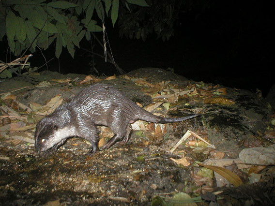 An Asian small-clawed otter caught on camera trap in the Western Ghats. Photo by: Clusteronefloyd.