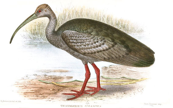 Illustration of giant ibis. Illustration by: Henrik Grönvold.