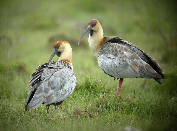 Black-faced ibises. Photo by: Frank Vassen.