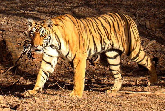 Bengal tiger in Rantgambhore National Park. Photo by: Bjørn Christian Tørrissen.