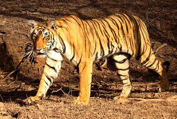 Bengal tiger in Rantgambhore National Park. Photo by: Bjørn Christian Tørrissen.