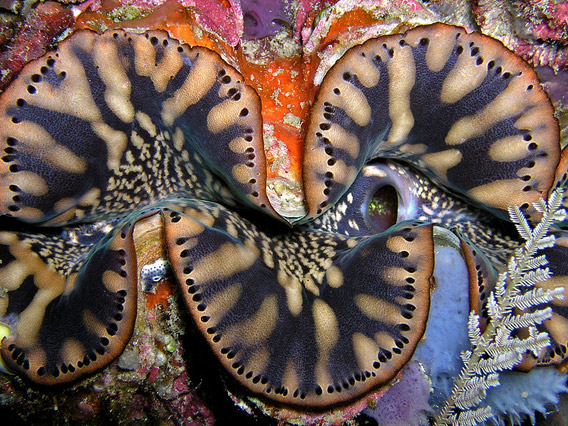 Giant clam species, Tridacna squamosa, in Timor. Photo by: Nick Hobgood.