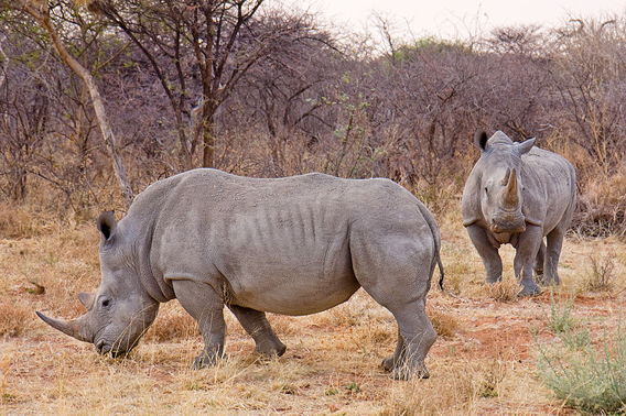 The world most abundant rhino was once the least. The white rhino (Ceratotherium simum) fell to just around 100 individuals (and was thought extinct until these were found), but today numbers 17,500, making this species among the world's most upbeat conservation stories. Unfortunately, this species is heavily poached. It is listed as Near Threatened. Photo by: Ikiwaner.