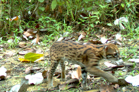 The small leopard cat. Photo by: WWF-Indonesia.