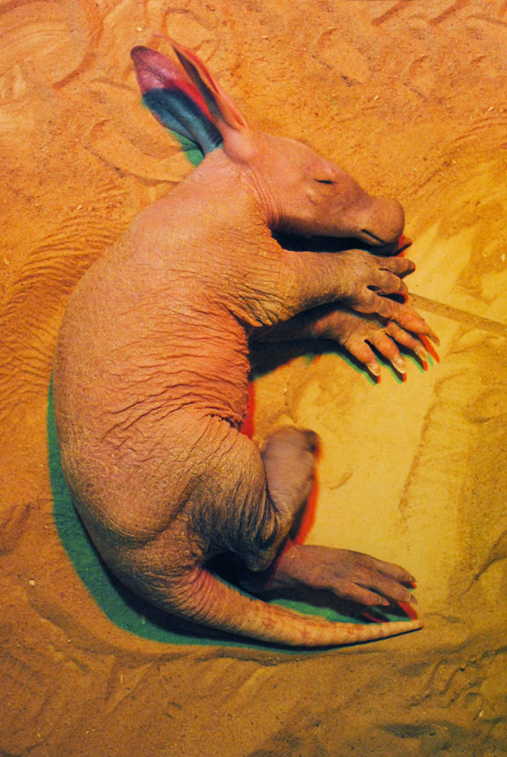 Aardvark baby. Photo courtesy of the Colchester Zoo.