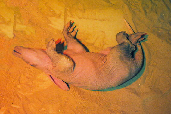 Baby aardvark on back. Photo courtesy of the Colchester Zoo.