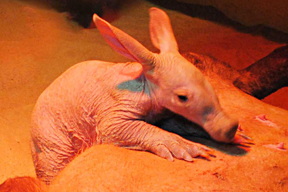 Close-up on aardvark baby. Photo courtesy of the Colchester Zoo.