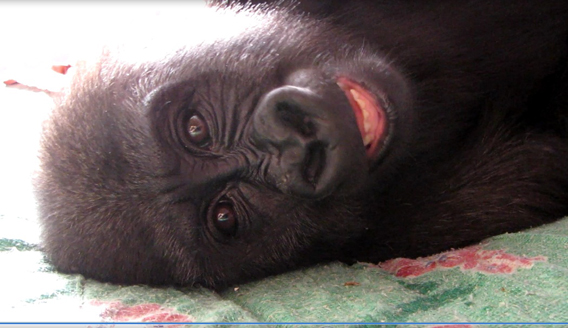 Named Afangui this gorilla toddler now resides in a gorilla sanctuary in Cameroon. Photo courtesy of the Zoological Society of London (ZSL).