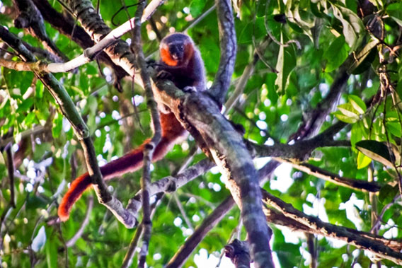 A closer look at the new titi monkey. Photo © Júlio Dalponte.