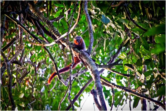 New titi monkey discovered in the Brazilian Amazon. Photo © Júlio Dalponte.