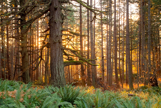 Watt says: 'This photo is a tribute to the great old-growth Coastal Douglas-fir forests that once covered most of eastern Vancouver Island. Now ranked as the 4th most endangered ecosystem in all of Canada, it is home to many rare plant and animal species. Having the chance to watch the sunset behind this beautiful giant tree while sitting in a bed of ferns was pure magic.'