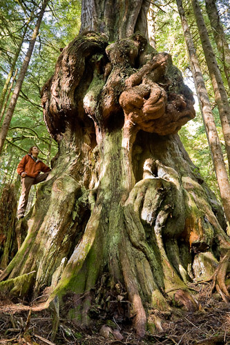An alien-shaped old-growth red cedar nicknamed 'Canada's Gnarliest Tree' in the now-protected Avatar Grove. Watt says: 'This shot became the face of our organization's successful bid to protect the area and the tree has likely become the most photographed in BC's woods during the past decade.'
