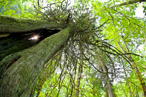 Sun-shining through a crack in an ancient red cedar in Goldstream Provincial Park. Watt says: 'Some days you are just in the right place at the right time. This was one of those days.'