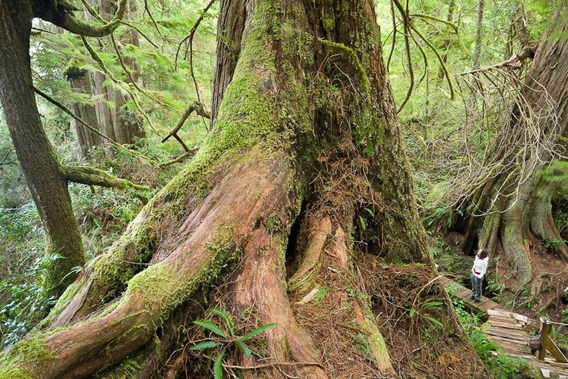 Watt says: 'The Big Tree Trail on Meares Island in Clayoquot Sound, BC is a big tree heaven! A wooden boardwalk winds though dozens of mammoth sized red cedars and lush temperate rainforest that still stands today due to efforts in the 80s and 90s by the public and First Nations to halt logging.'